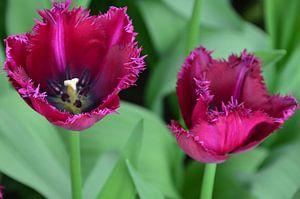 Donker Paars Gekartelde Tulpen van