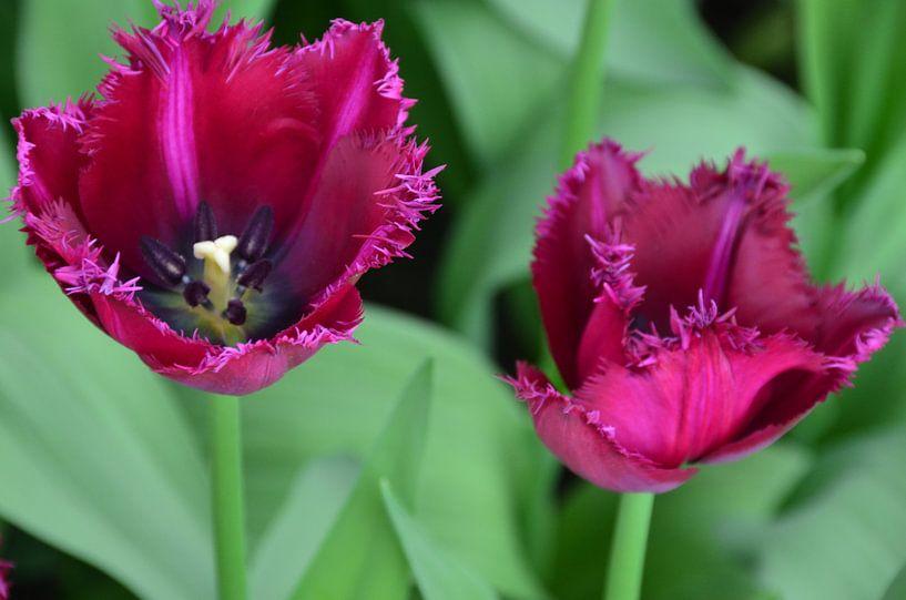 Donker Paars Gekartelde Tulpen van Marcel van Duinen