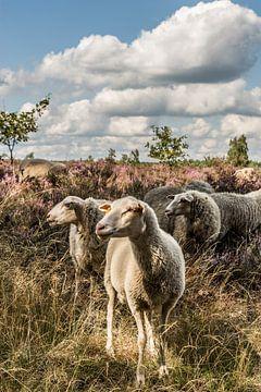 Schafe auf der Heide von Martine Dignef