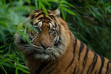 Tiger in der Natur von Allround_Moments
