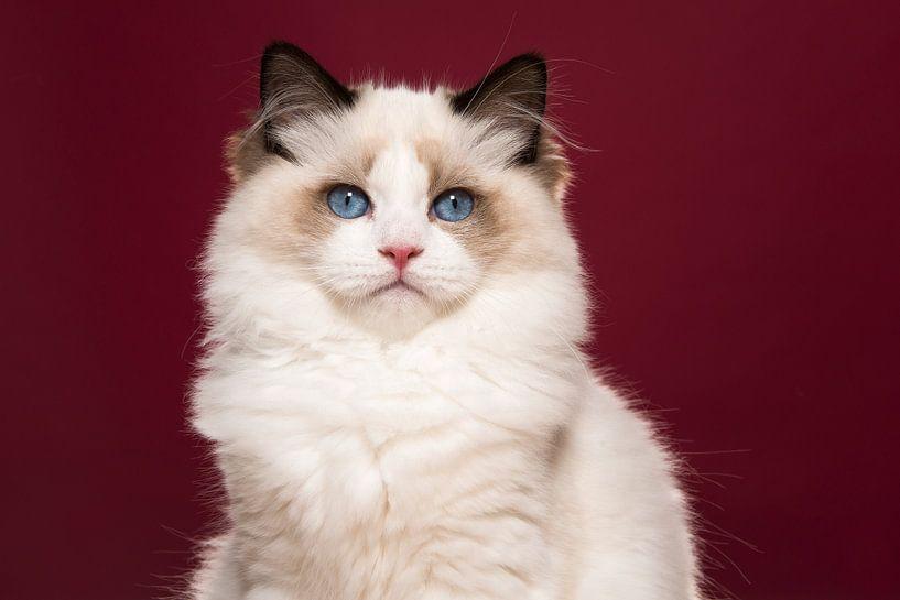 Ragdoll-Katze von Elles Rijsdijk