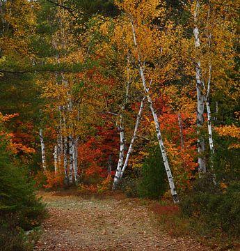 Herbst Birke von lieve maréchal