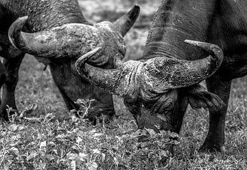 Twee Buffels naast elkaar aan het grazen van Jordi Woerts