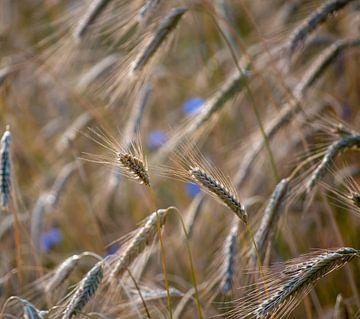 Gerst met korenbloemen van Margreet Boersma