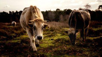 Die Kühe grasen in der winterlichen Landschaft, in den Waldgebieten um Amerongen. von Studio de Waay