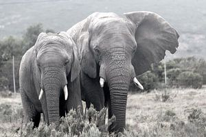 Elephants van