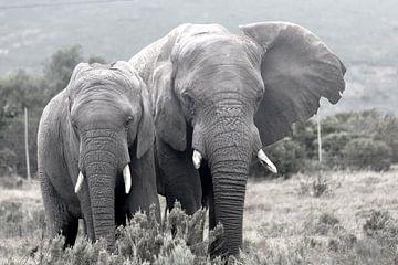 Elephants sur Stefan Dhondt