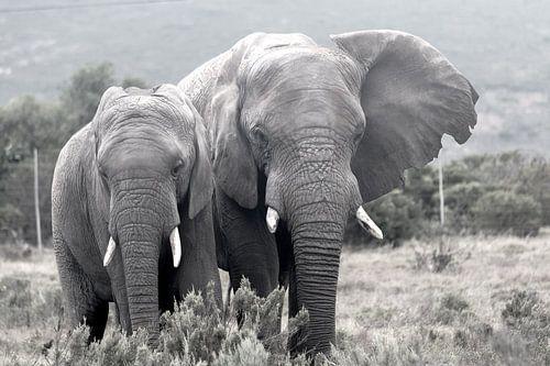 Elephants van Stefan Dhondt