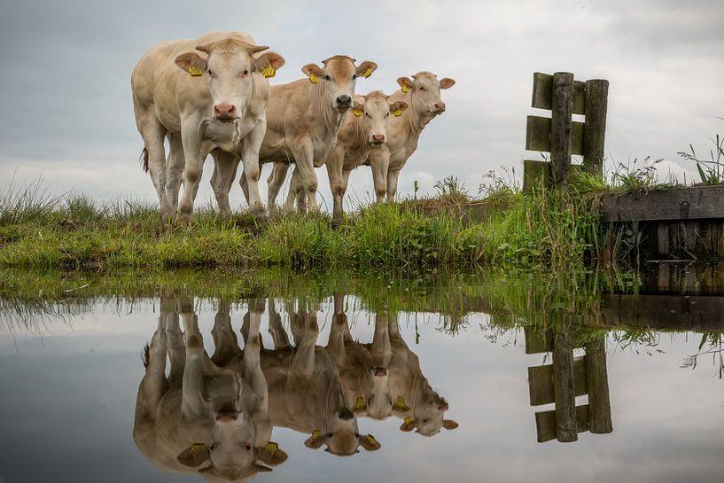 Koeien van Johan Vet