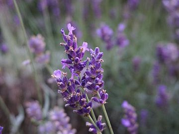 Lavendelblüte im Sommer von Lea-Marie Littwin