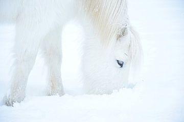 Islandpferd im Schnee von Elisa Hanssen