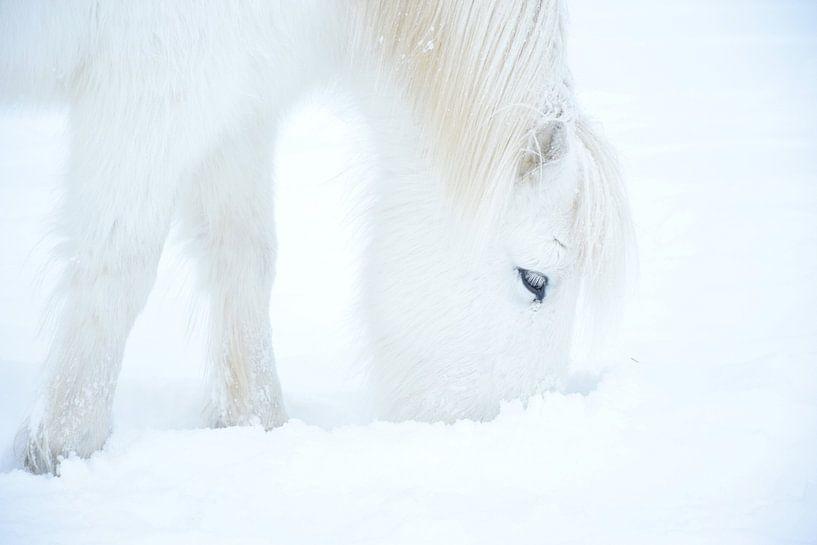 Islandpferd im Schnee von Elisa in Iceland