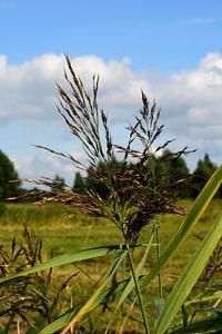 Een rietpluim in een polderlandschap van Gerard de Zwaan