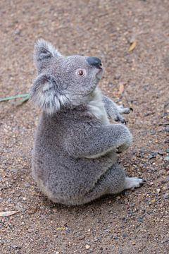 Zittende Koala van Erwin Blekkenhorst