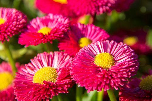 Roze gele bloem