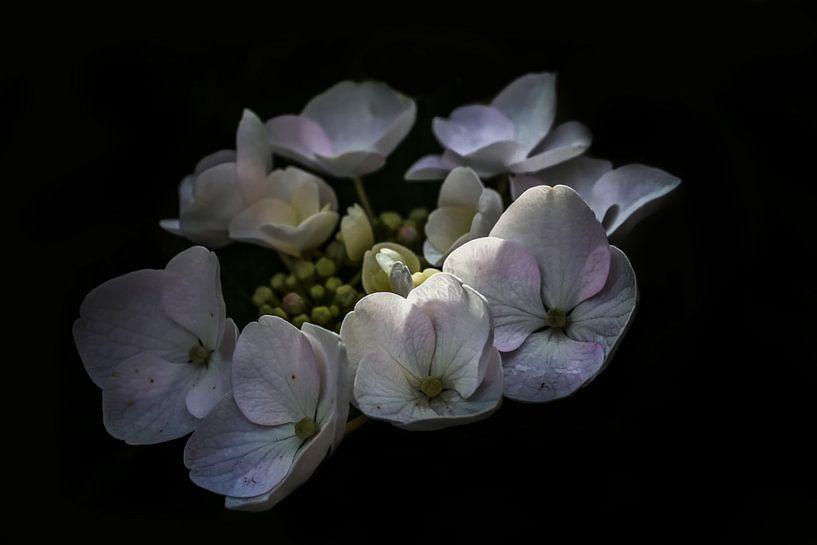Hortensia van Pieter Navis