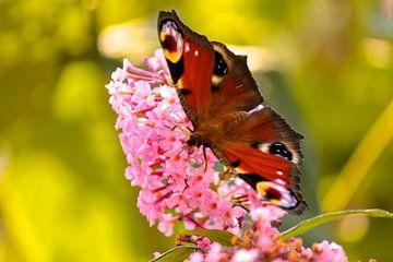 Dagpauwoog op de vlinderstruik van Lisa-Valerie Gerritsen