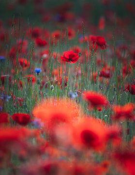 Träumende Mohnblumen von Joris Pannemans - Loris Photography