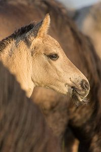 Konikpaard veulen Oostvaardersplassen