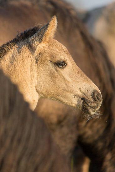 Paarden | Konikpaard veulen in de kudde - Oostvaardersplassen