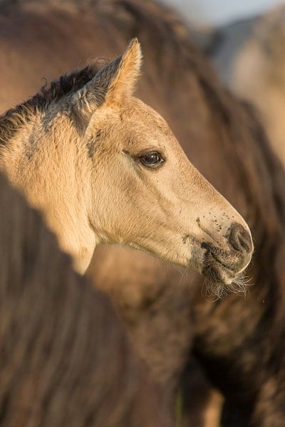 Paarden | Konikpaard veulen in de kudde - Oostvaardersplassen van Servan Ott