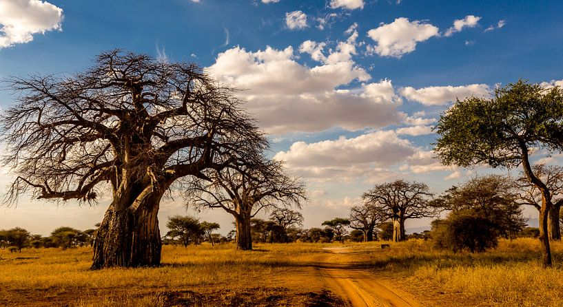 Baobab boom in Tanzania van René Holtslag