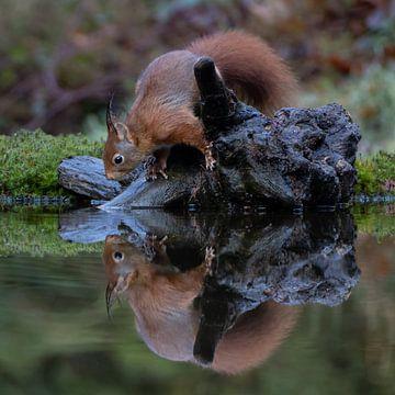 Eichhörnchen mit Reflexion im Wasser von Sylfari Photography