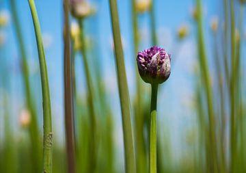 Paarse bloem van Kristof Ven
