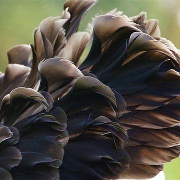 black swan van Frenz' van de Grift