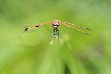 Libelle | Viervlek libelle in het groen van Servan Ott