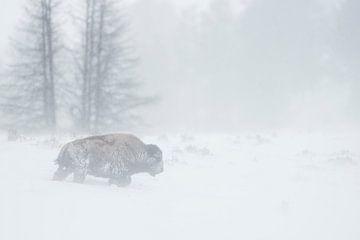 Amerikaanse Bison ( Bison bizon ) vecht door een zware sneeuwstorm, Yellowstone NP, Wyoming, USA. van wunderbare Erde