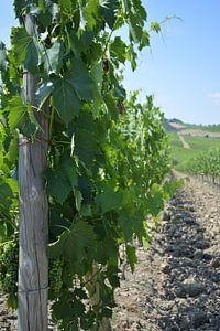 Wijngaard toscane van