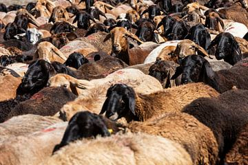 Braune und weiße Schafe von Daan Kloeg