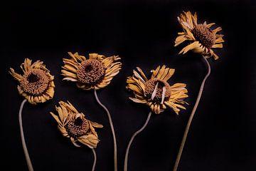 Zusammensetzung von getrockneten Gerberas auf schwarz von Karel Ham
