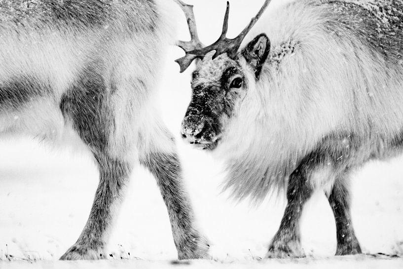 Rendier in twee van Sam Mannaerts Natuurfotografie
