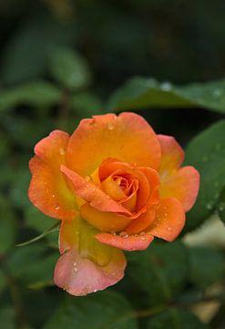 Rose mit Tropfen von Anja B. Schäfer