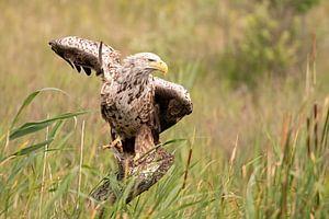 Bald eagle van Ria de Heij