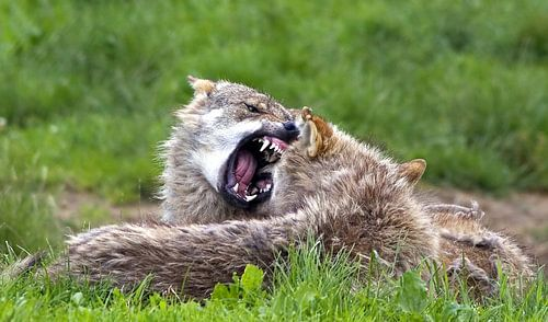 Wolves van Nildo Scoop