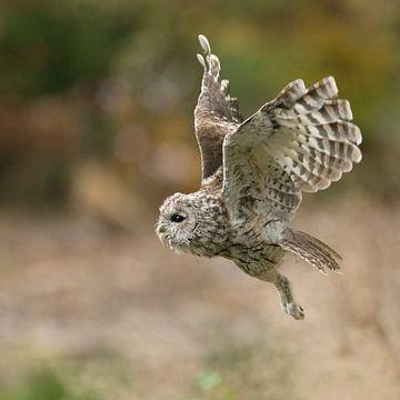 Owl in flight... Tawny Owl * Strix aluco * van