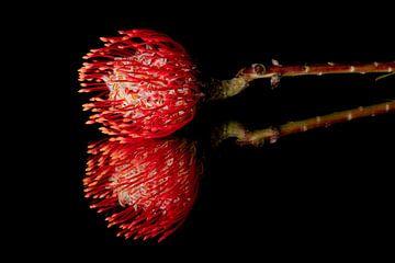 Een bloem op een spiegel met zwarte achtergrond van Ronald van Kooten