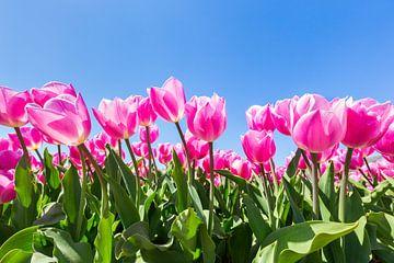 Roze tulpen met blauwe lucht in Holland van Ben Schonewille