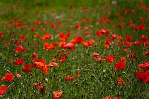 Poppy flowers van