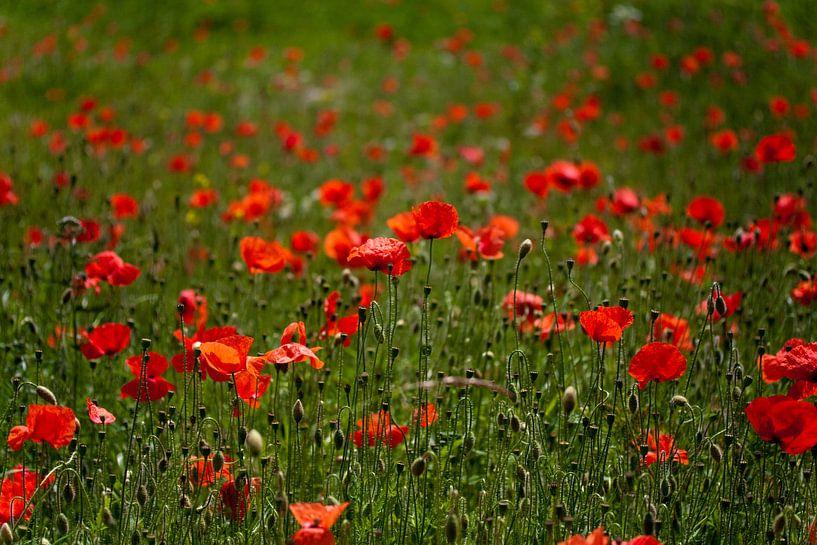 Poppy flowers van Roque Klop
