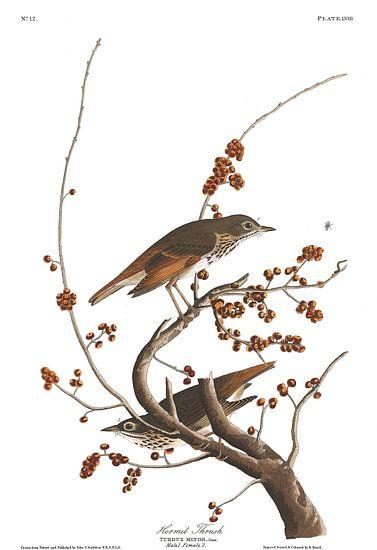 Geelborstzanger van Birds of America