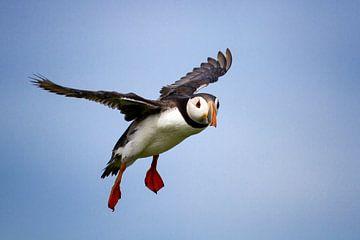 Papegaaiduiker van Aland De Wit