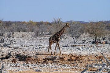Die Giraffe. von Merijn Loch
