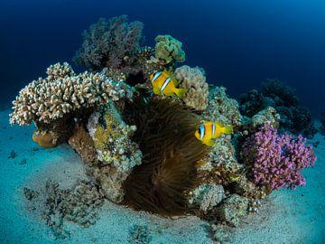 Clownfische auf ihrer Anemone im Roten Meer von René Weterings