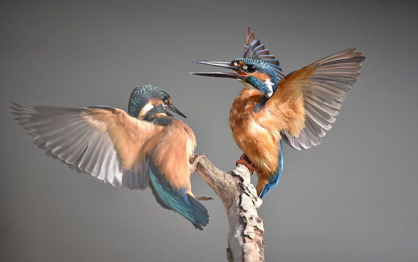 IJsvogel ruzie van Kirsten Geerts