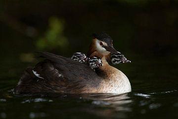 Haubentaucher ( Podiceps cristatus ) trägt drei Jungvögel, Küken, Nachwuchs auf dem Rücken, wildlife von wunderbare Erde