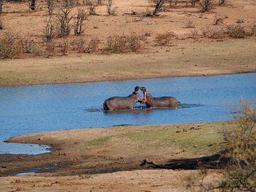 Vechtende Nijlpaarden van Marleen Berendse